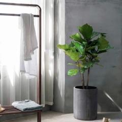 Ficus Lirolistny