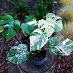 monstera_variegata